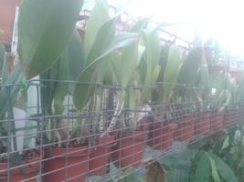 Hybridy - Cattleya a příbuzné