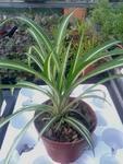Chlorophytum (panašované) menší