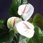 Anthurium andreanum  'White Heart'