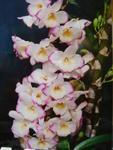 Dendrobium Chian-Tzy Darumanes 'Mona Lisa'