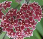Hoya purpureofusca