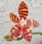 Phalaenopsis Good Cheer