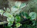 Peperomia obtusifolia 'bicolor mix' (větší)