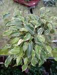 Ficus benjamina (bílozelený)