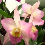 Iwanagara Apple Blossom 'Pink'
