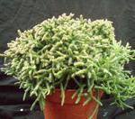 Rhipsalis burchellii (velká rostlina)