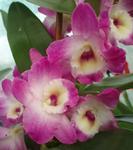 Dendrobium nobile - kvetoucí orchidej #1