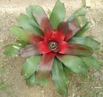 Neoregelia carolinae 'Red'