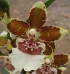 Kvetoucí orchidej Cambria #4