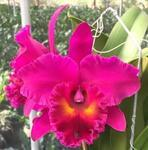 Blc. Shang Ding Red Dragon 'ORCHIS'