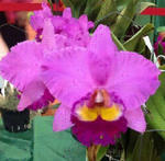 Blc. Taichang Beauty 'ORCHIS'