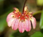 Bulbophyllum auratum (vyvázané)