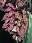 Bulbophyllum phalaenopsis