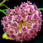 Hoya camphorifolia