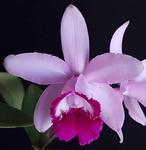 Cattleya intermedia 'Red'