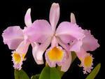 Cattleya schroederae 'Golem'