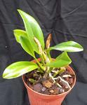 Orchidej Cattleya - mladá rostlina