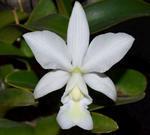 Cattleya nobilior var. alba