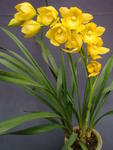 Cym. Kusuda Fantasy 'Kim Hong Yellow Robe'