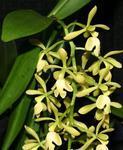 Epidendrum coronatum