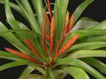 Tillandsia flabellata v. rubra