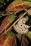 Hoya acuta 'Red Leaf'