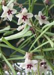 Hoya retusa (velký trs)