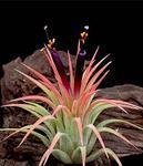 Tillandsia ionantha v. rubra