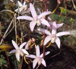 Laelia xanthina