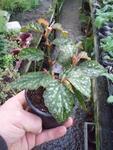 Begonia 'Medora'