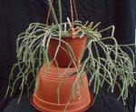 Rhipsalis pilocarpa - velká rostlina