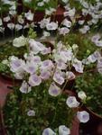 Utricularia livida (bublinatka)
