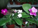 Streptocarpus - zvýhodněná sada 3 drobnokvěté
