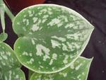 Scindapsus pictus 'Argyraeus'