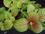 Fittonia verschaffeltii (světlezelená s červenou žilkou)