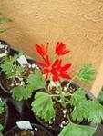 Pelargonium 'Red Witch'