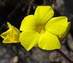 Pachypodium rosulatum