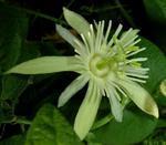 Passiflora capsullaris 'Vanilla Cream'