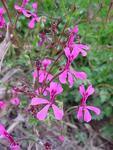 Pelargonium ionidifolium
