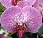 Phalaenopsis Sogo Beach 'Niep' BM/WOC