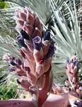 Puya ferruginea