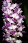 Rhynchostylis coelestis růžový