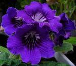 Streptocarpus 'Lily'