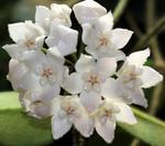 Hoya thompsonii