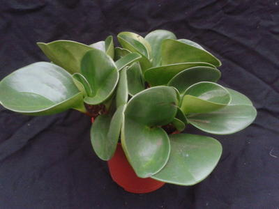 Peperomia obtusifolia (větší) - 1