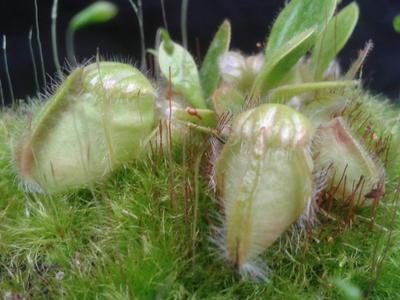 Cephalotus follicularis - 1