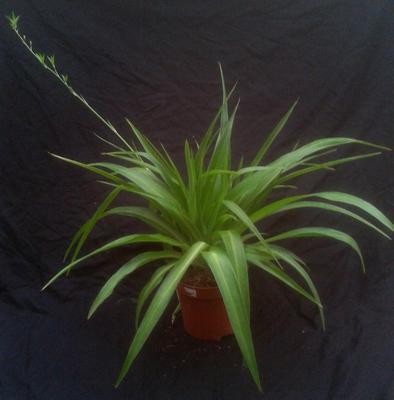 Chlorophytum (zelené) menší - 1
