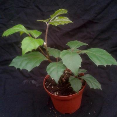 Cissus rhombifolia - 1
