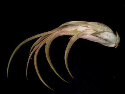 Tillandsia circinnata - 1
