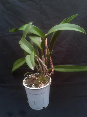 Orchidej Cattleya - květuschopná rostlina - 1